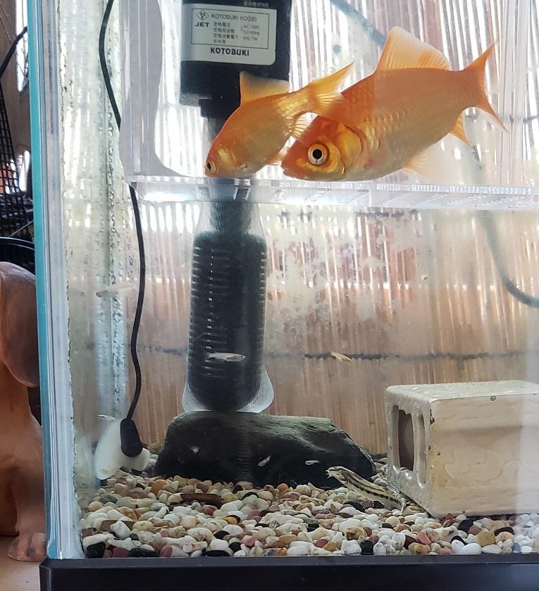 どじょうとメダカの稚魚を一緒に水槽へ